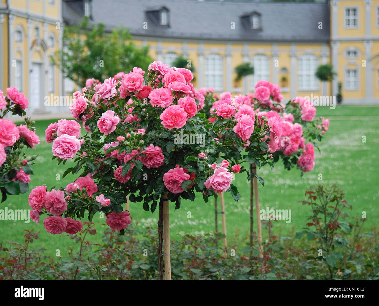 rose rosa spec roses in rosarium uetersen germany stock photo 47860598 alamy. Black Bedroom Furniture Sets. Home Design Ideas