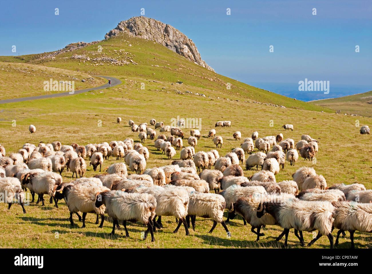 Sheep on camino de santiago am weg weg von st jean pied de port nach stock photo royalty free - St jean pied de port to santiago ...