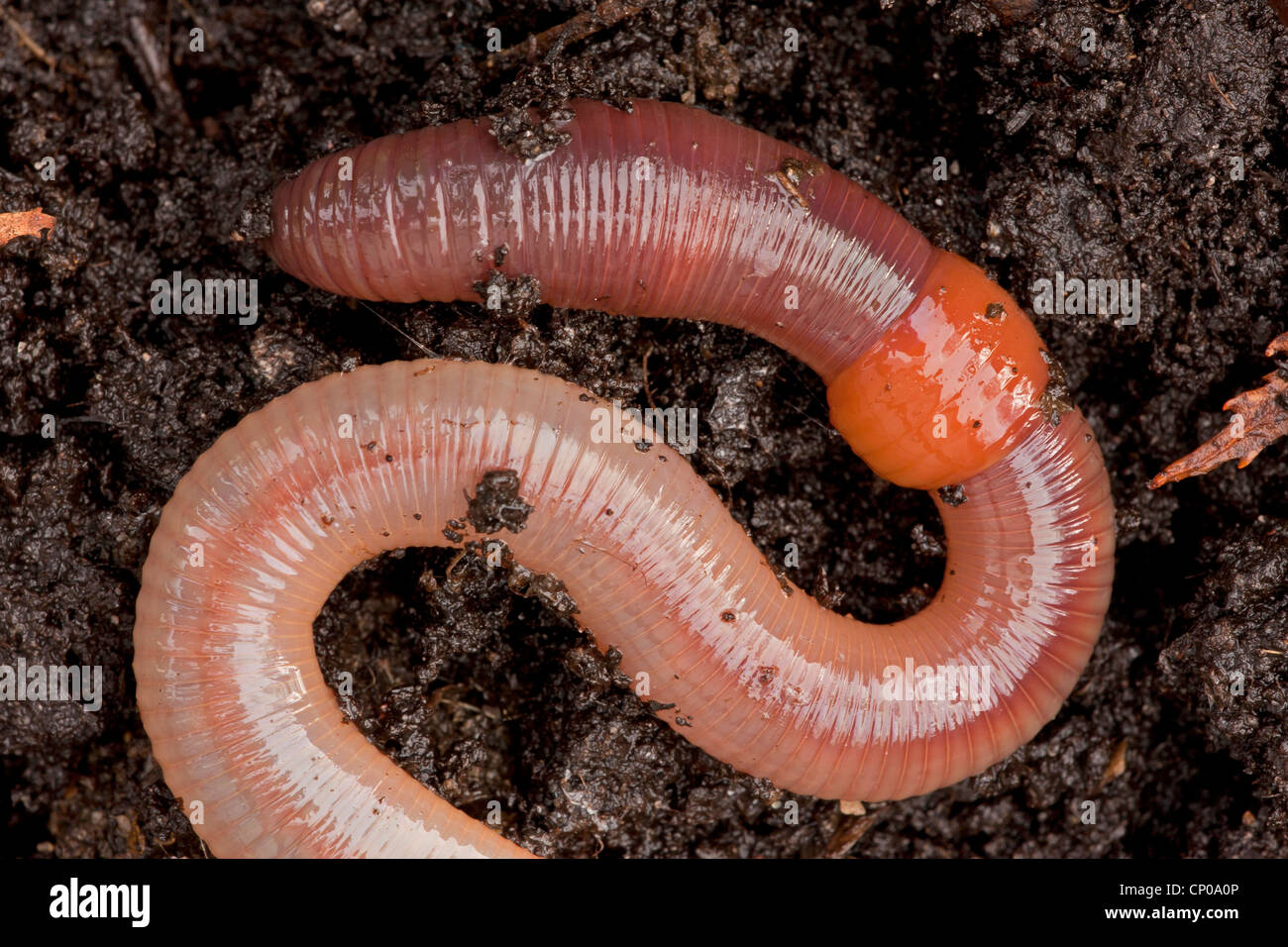 common-earthworm-earthworm-lob-worm-dew-