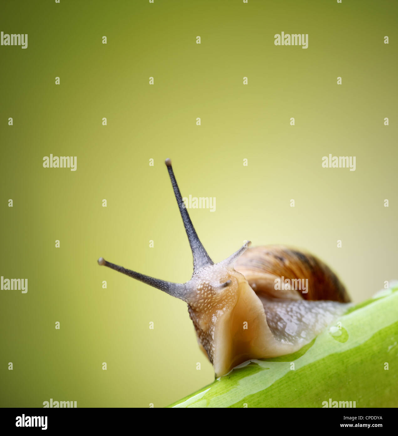 Common garden snail crawling on green stem of plant Stock Photo