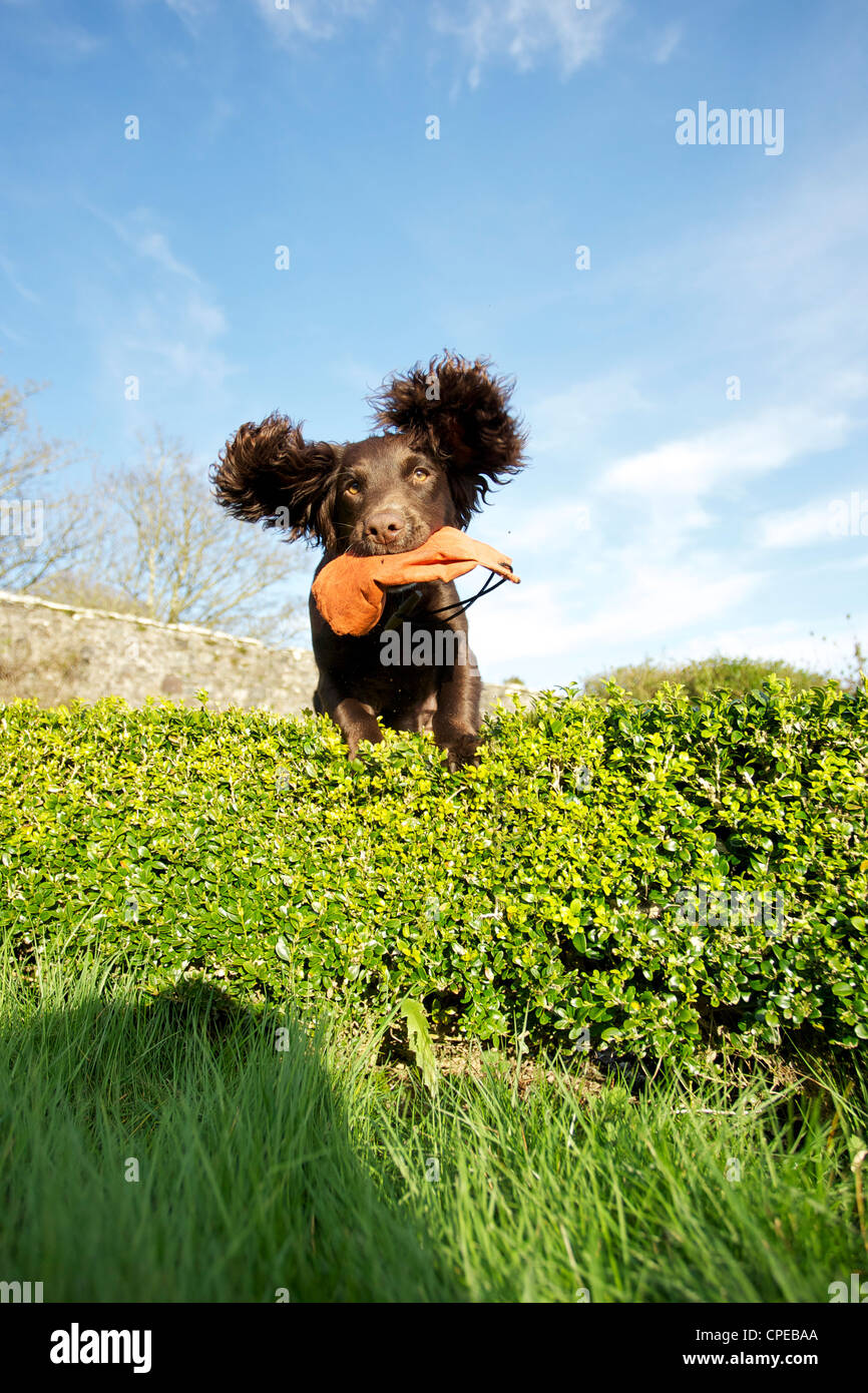 working-cocker-spaniel-puppy-jumping-ove