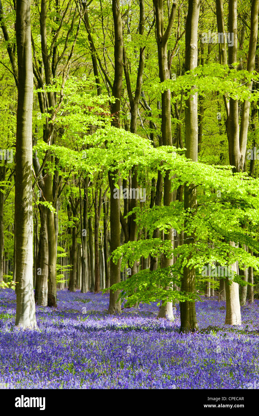 Dappled sunshine falls through fresh green foliage in a beechwood of bluebells in England, UK Stock Foto