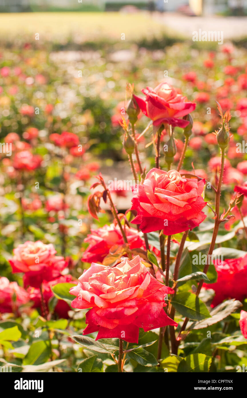rose-garden-CPFTNX.jpg