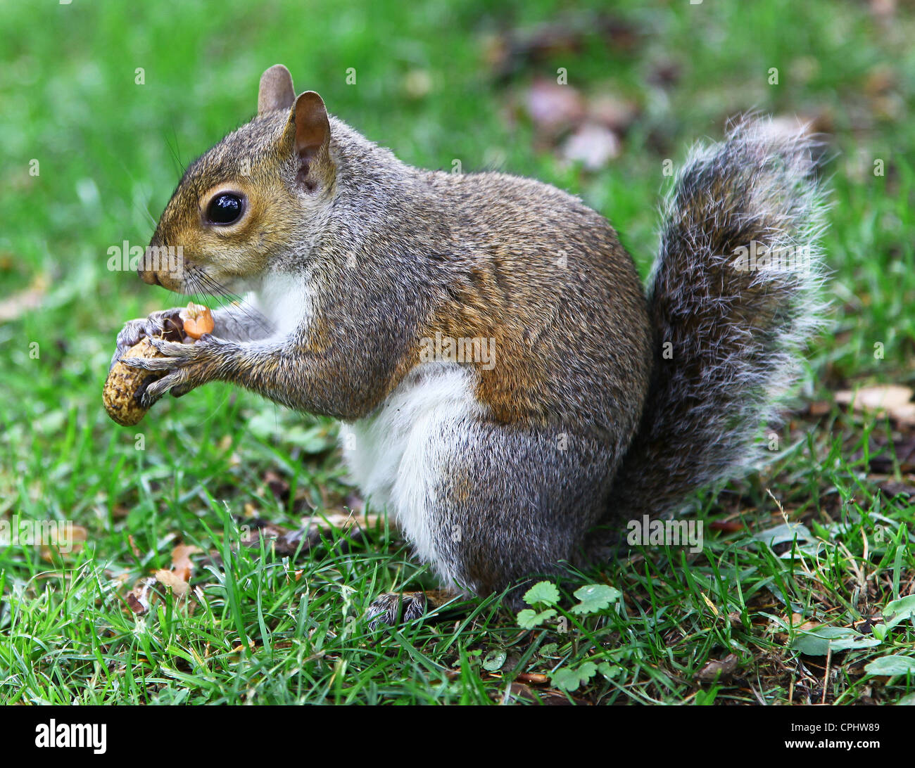 close-up-shot-of-a-grey-squirrel-sciurus