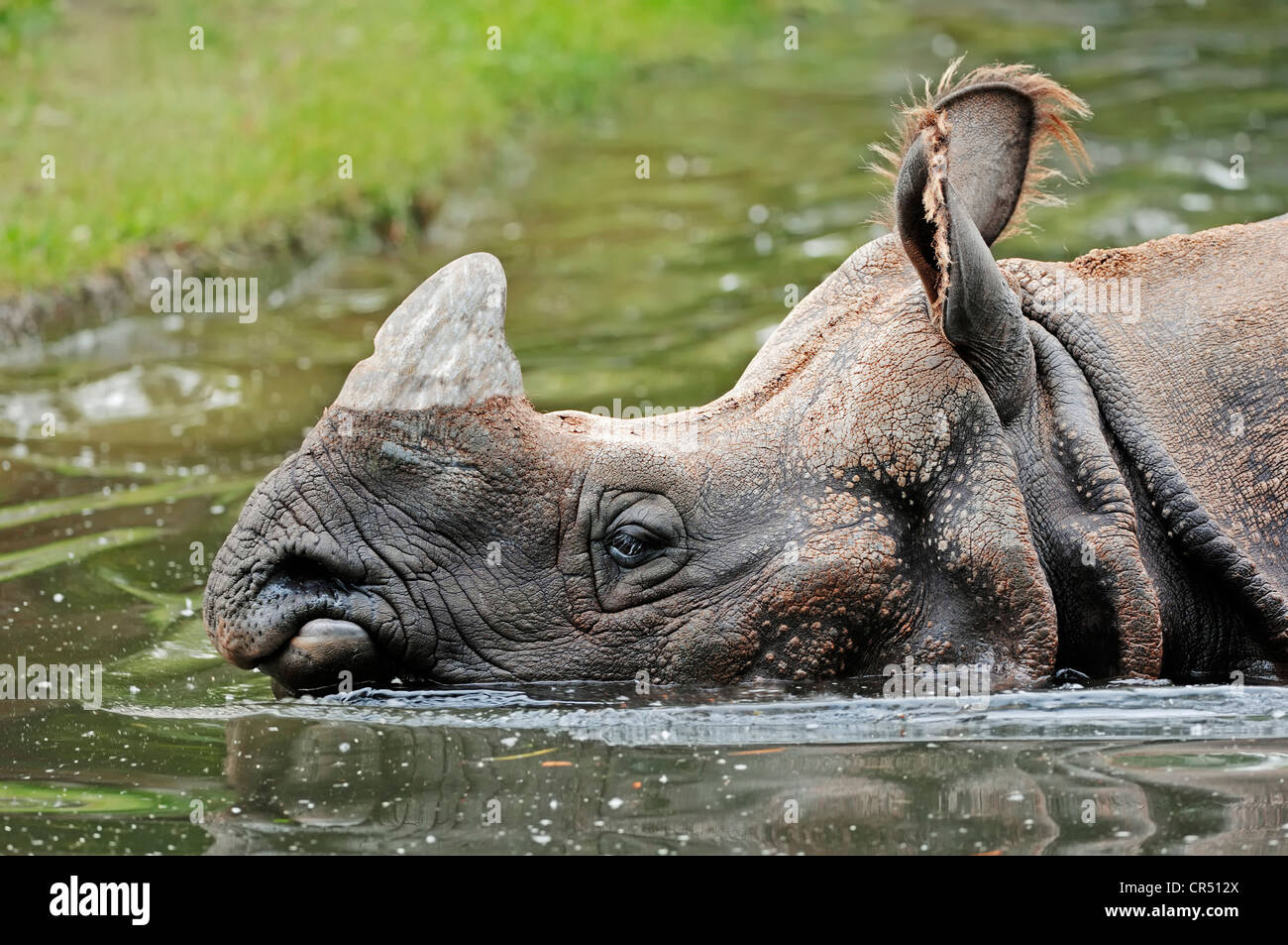 Greater one-horned rhino WWF