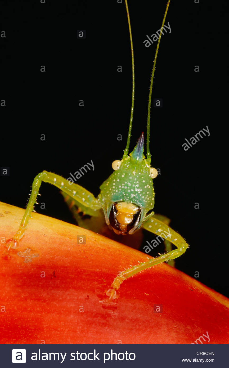 The katydid, a type of grasshopper found in the western hemisphere Stock Foto