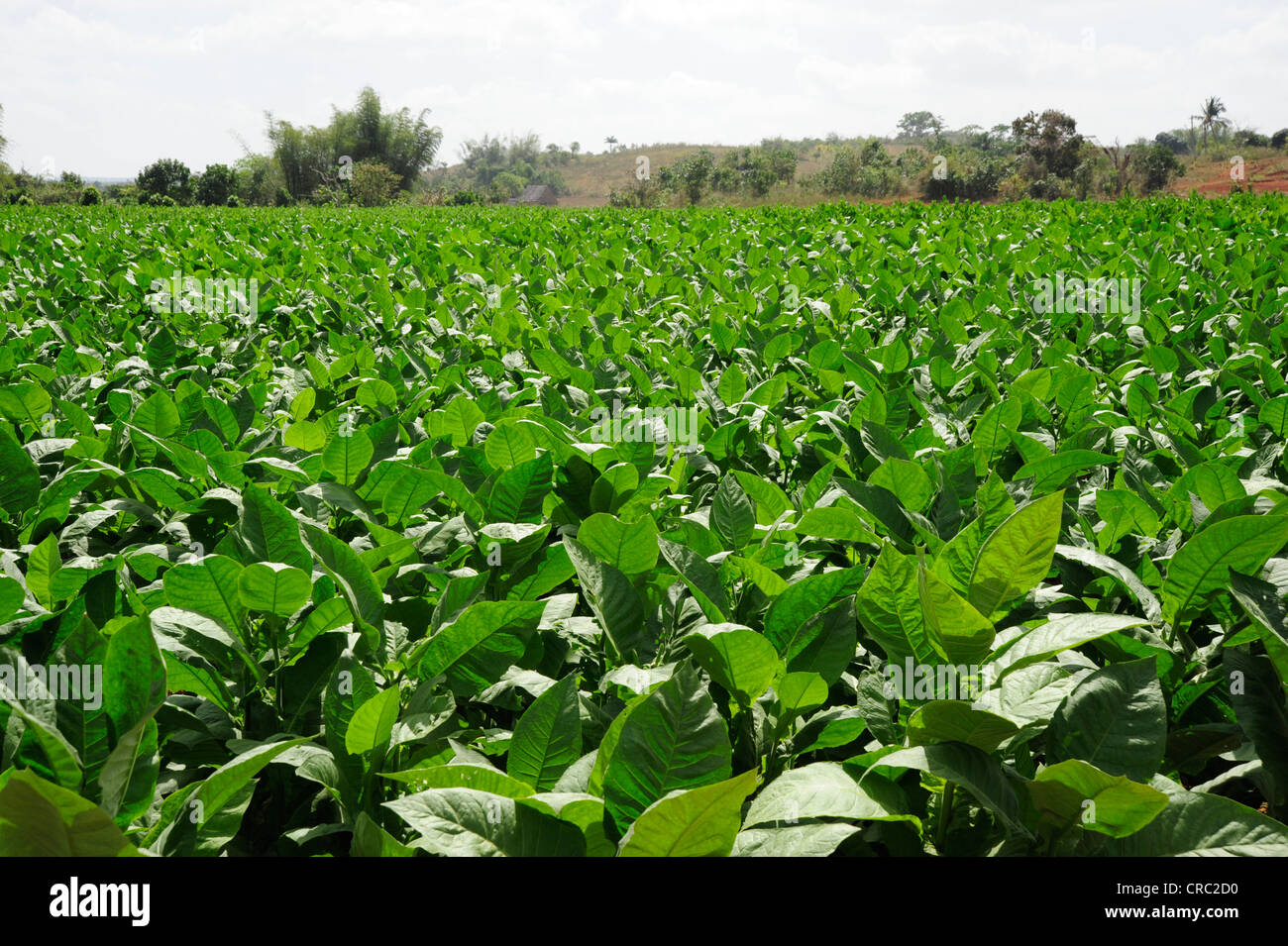 tobacco leaves tobacco plant nicotiana tobacco plantation stock photo royalty free image. Black Bedroom Furniture Sets. Home Design Ideas