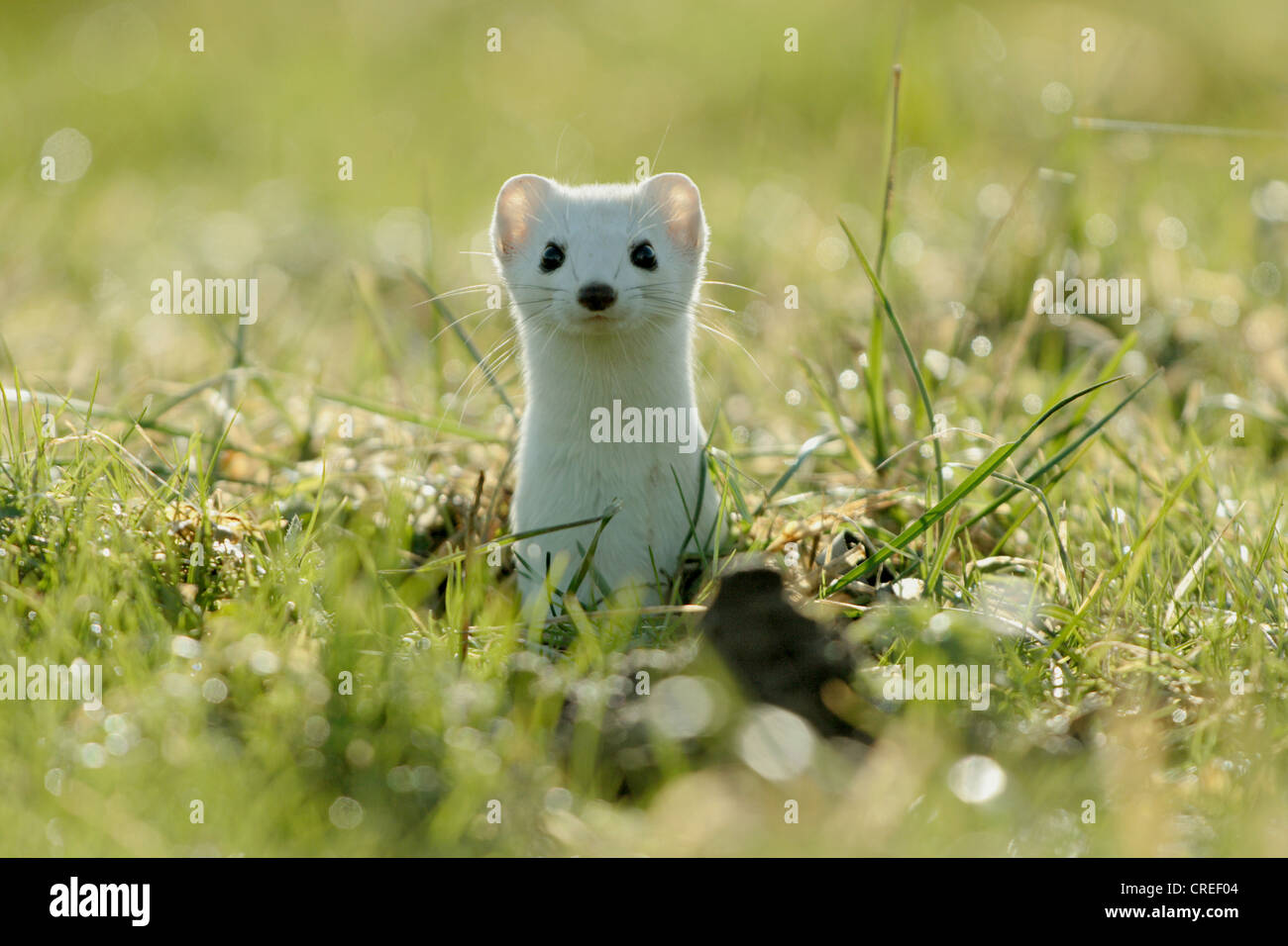ermine, stoat (Mustela erminea), with winter fur, Germany
