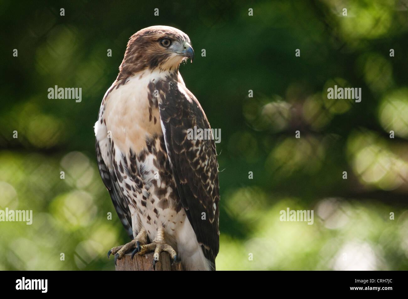 fledgling-red-tailed-hawk-in-washington-