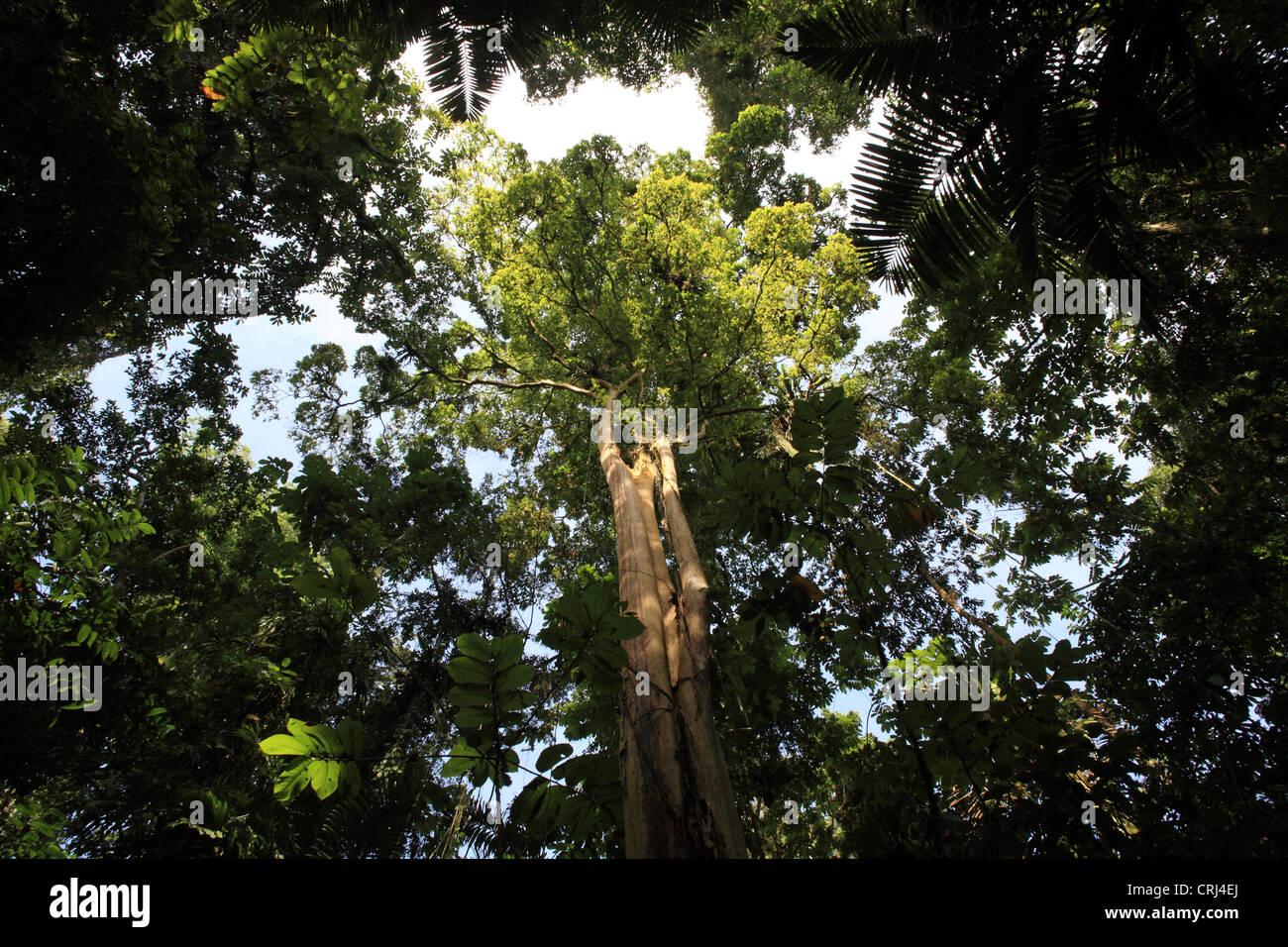 Tropical Rainforest Kapok Tree