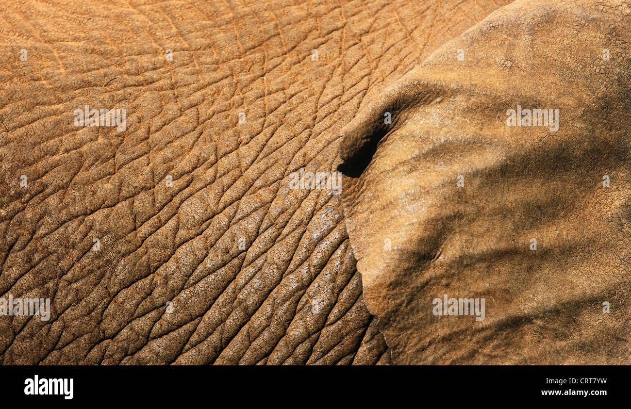African Elephant skin texture close-up with part of ear showing (Addo Elephant National Park - South Africa) Stock Photo