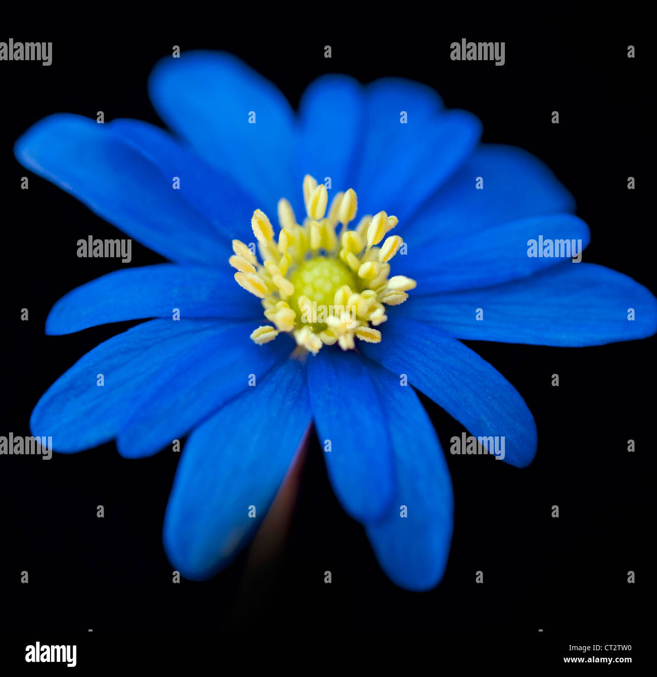 Anemone single blue flower against a black background - Plants with blue flowers a splash of colors in the garden ...