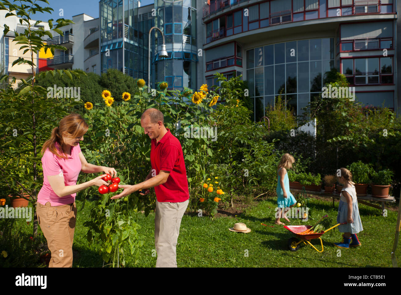 family father mother and two daughters harvesting tomatoes urban stock photo royalty free. Black Bedroom Furniture Sets. Home Design Ideas