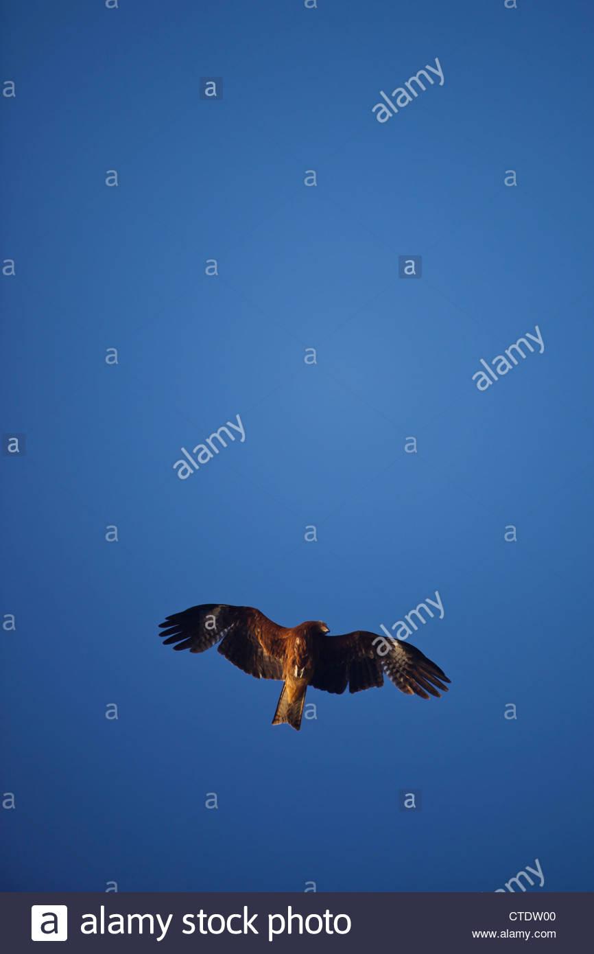 Enoshima, Japan, May 5, 2012 - A Japanese hawk flys overhead in front of the sun at Enoshima beach, south of Tokyo. Stock Photo