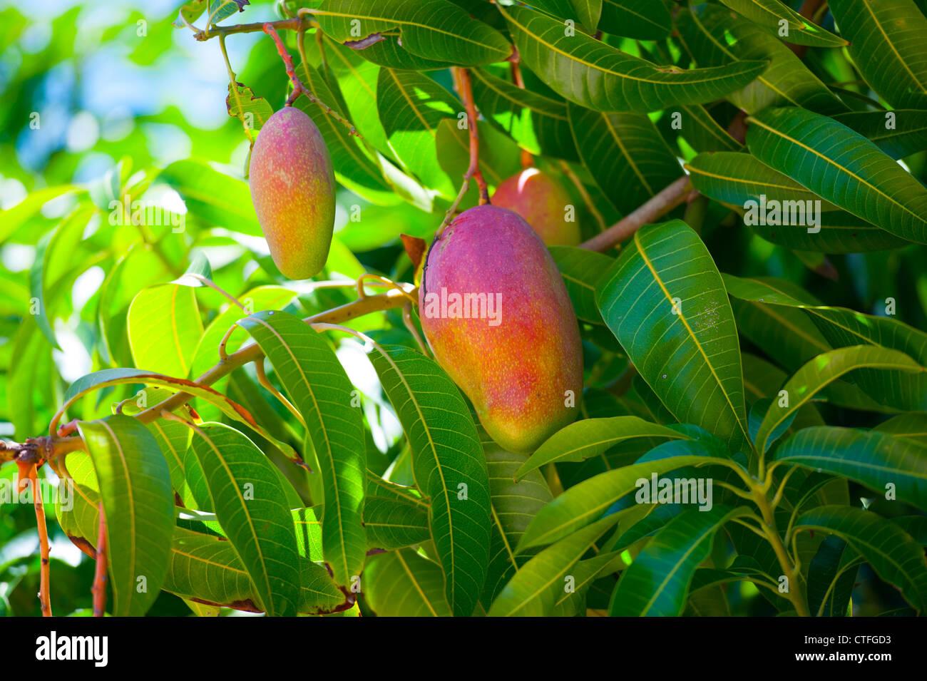 food-fruit-produce-ripe-mangoes-hang-in-