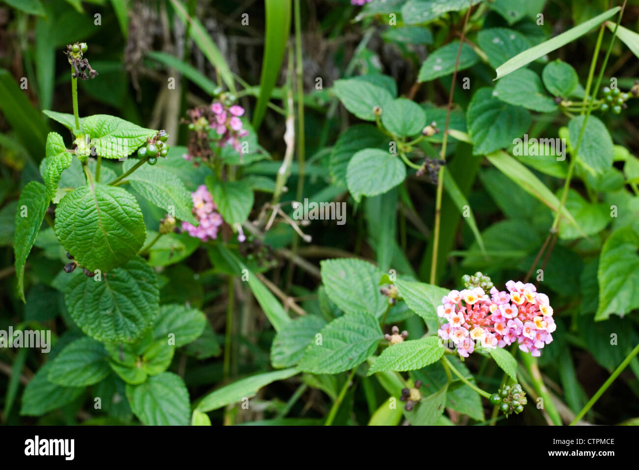 small pink wild flower in tropical undergrowth near malang java indonesia Stock Photo