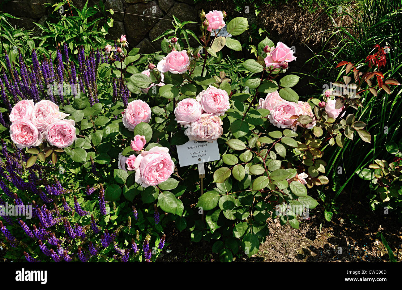 brother cadfael rose bush stock photo royalty free image. Black Bedroom Furniture Sets. Home Design Ideas