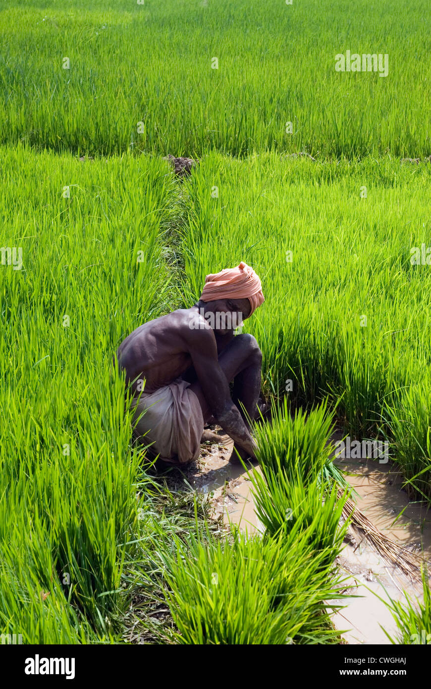 Indian farmer working in a rice paddy field in Udaygiri ...