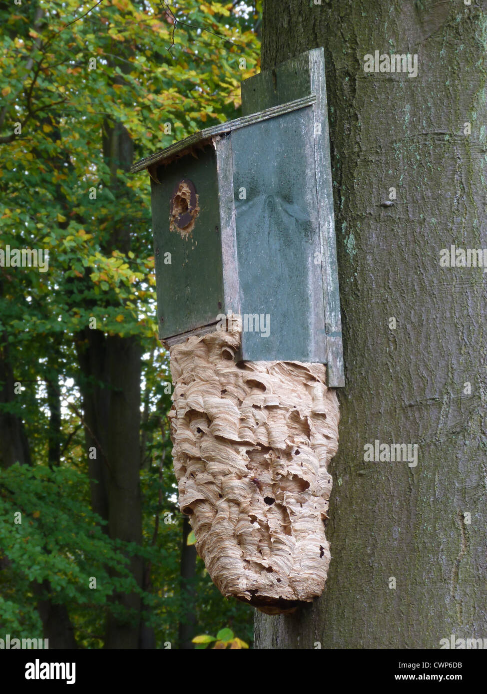 european hornet vespa crabro nest on birdbox fixed to