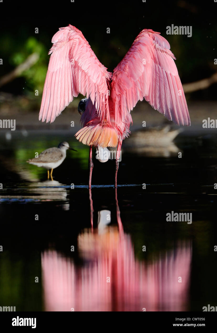 Roseate Spoonbill stretching its wings Stock Foto