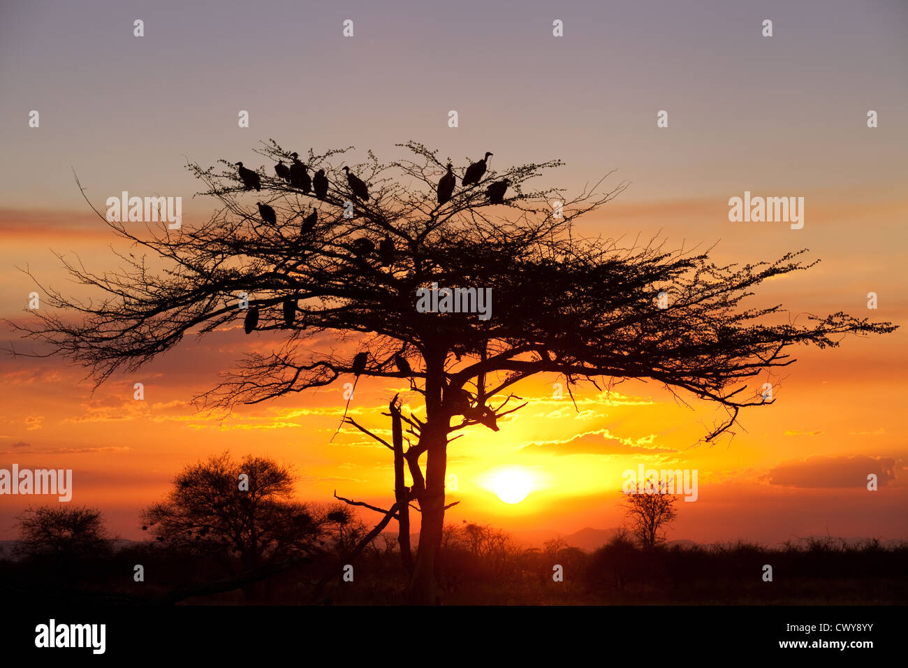 african-sunset-with-vultures-in-acacia-t