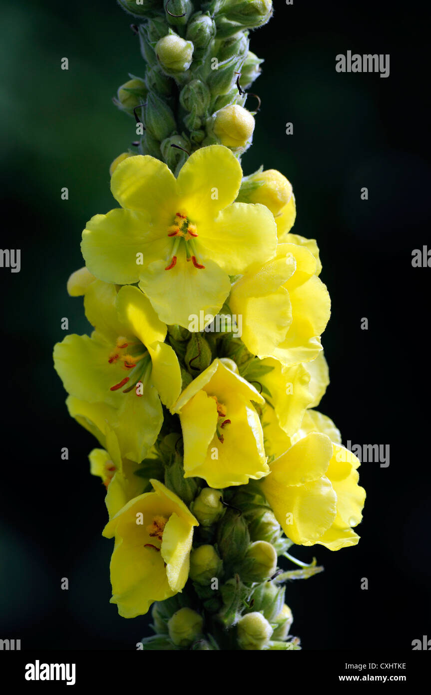 Verbascum blattaria moth mullein yellow flower bloom for Plant with tall spikes of yellow flowers