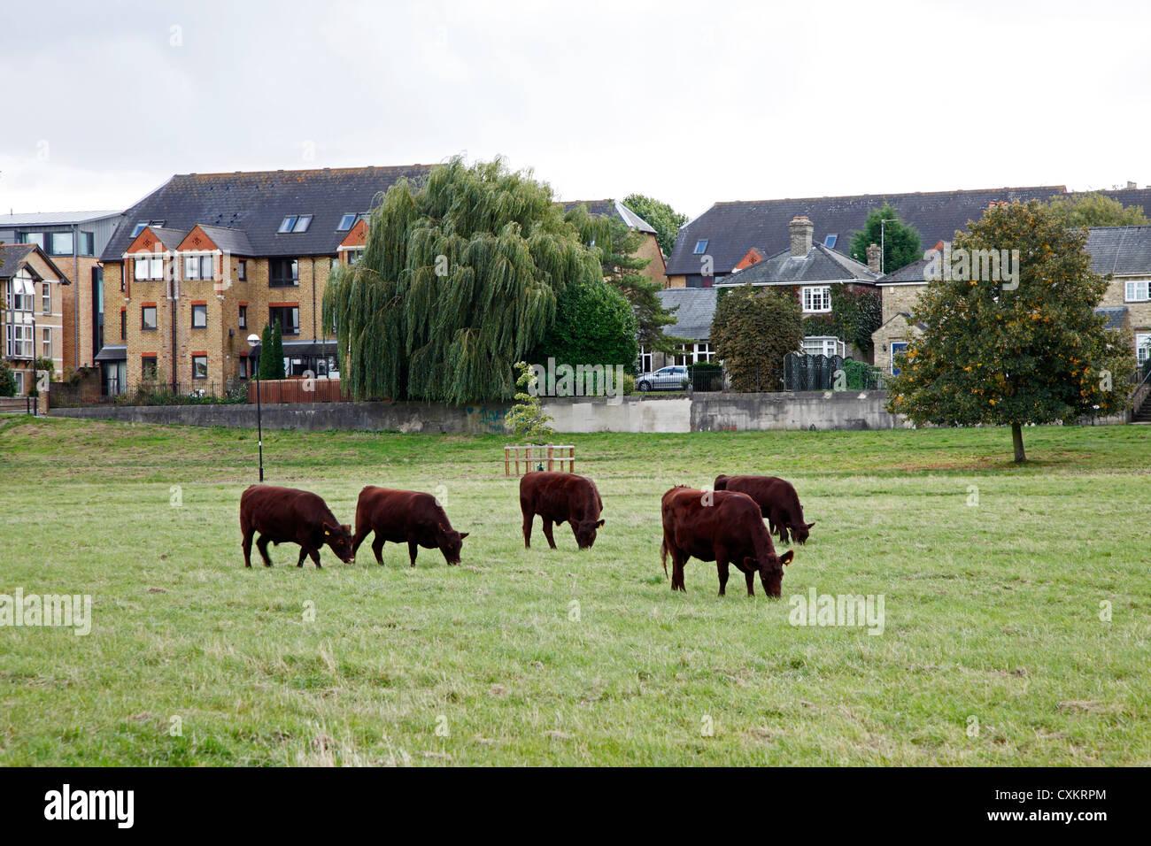 cows-on-midsummer-common-cambridge-engla