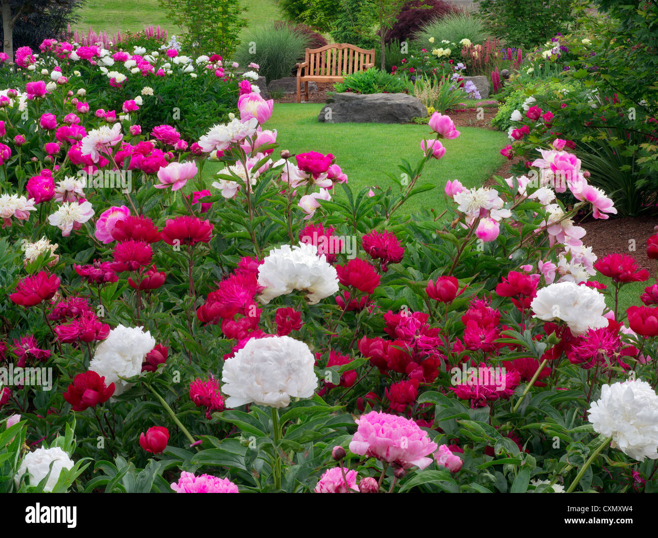 Peony garden and bench adleman peony garden salem oregon stock photo royalty free image - Growing peonies in the garden ...