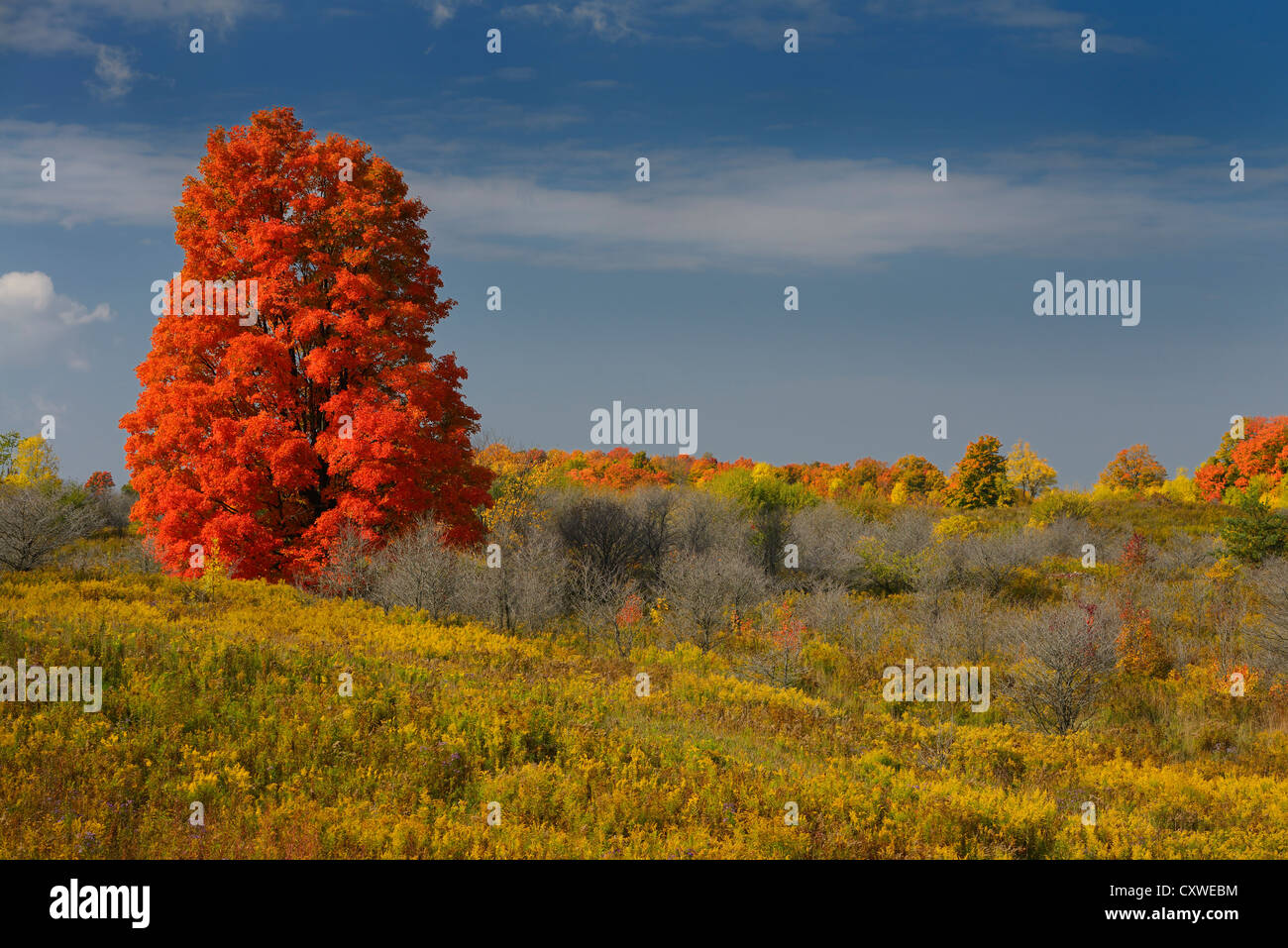 single-bright-red-maple-tree-in-a-field-