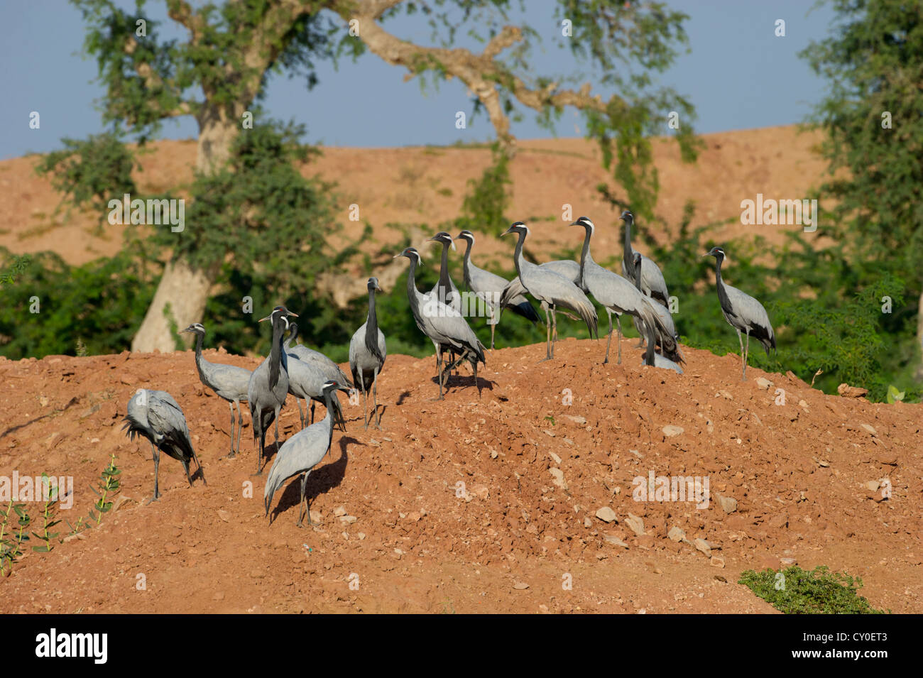 Demoiselle cranes anthropoides virgo at kichan in thar desert stock photo royalty free image for Kichan photo