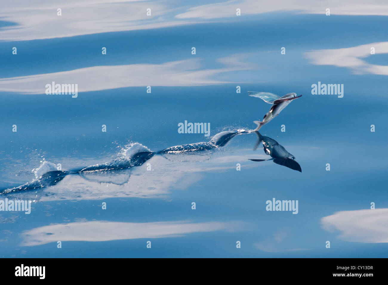 Flying Fish Species Scientific Name Unknown With