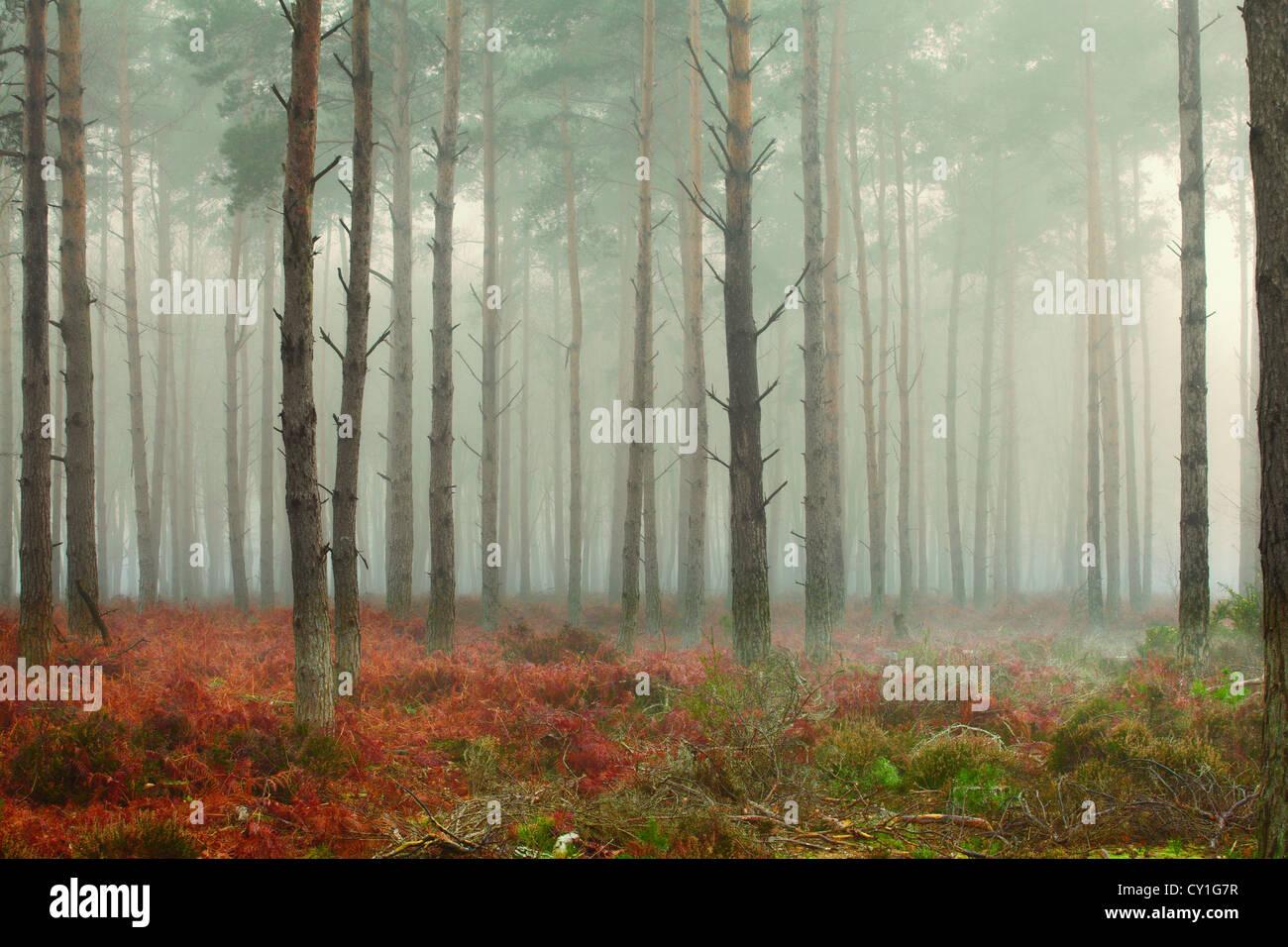 Pine trees in mist at dawn Stock Foto