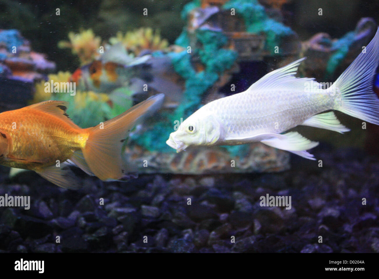 Freshwater fish aquarium fish tropical fish pictures of for Order fish online