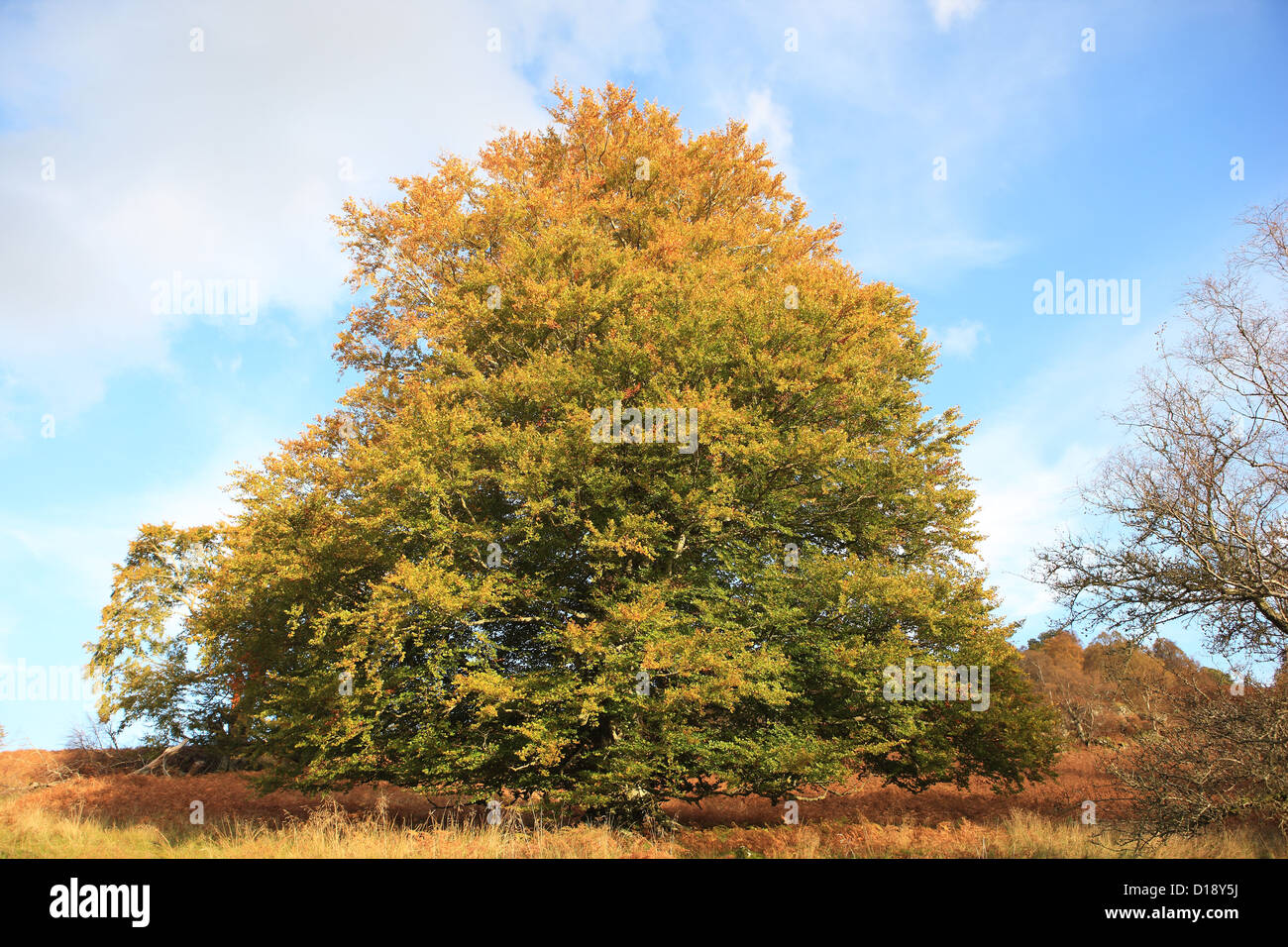 horse-chestnut-tree-in-autumnal-colours-