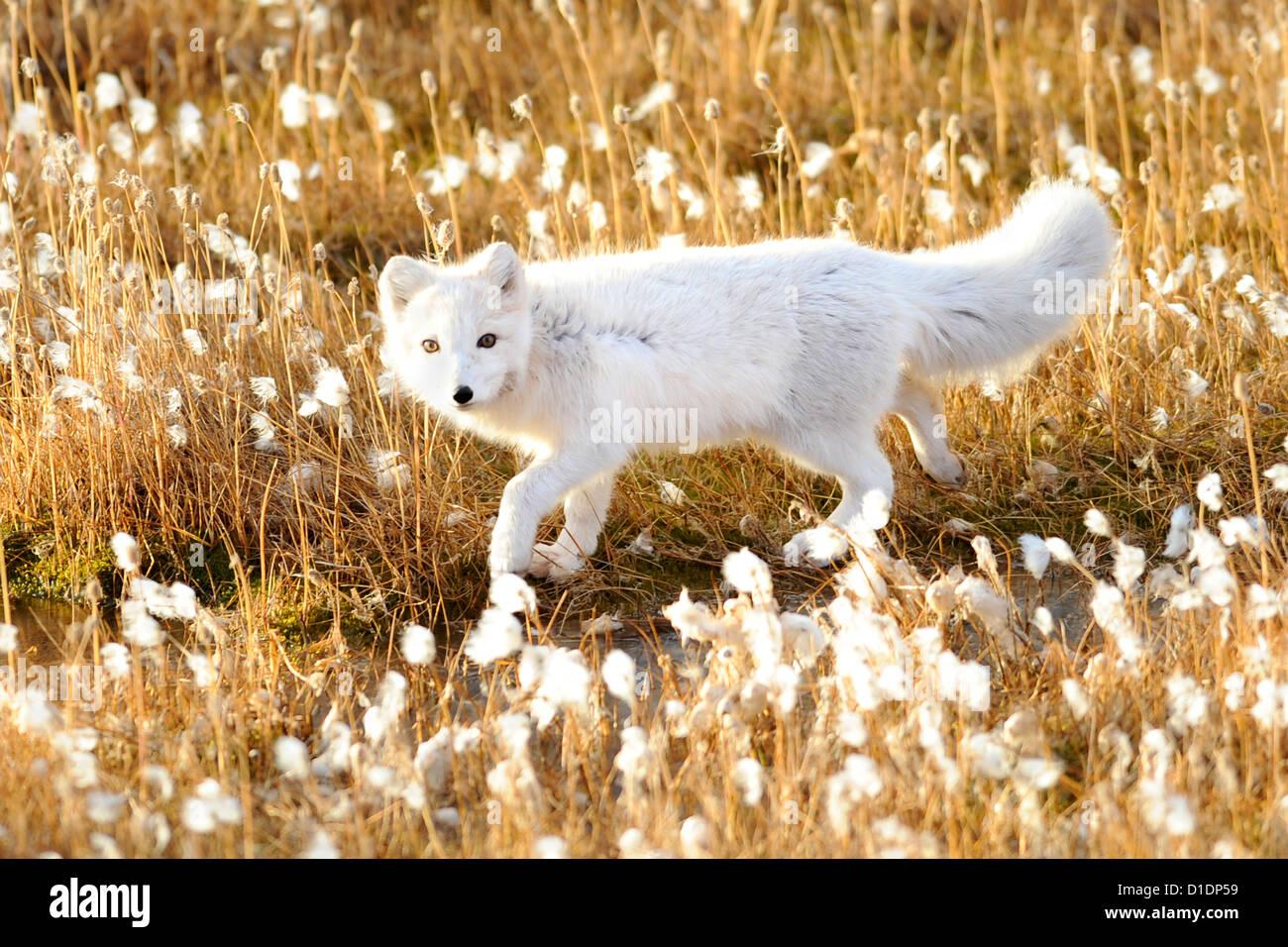 An arctic fox walks through cotton grass September 17, 2012 in Pituffik, Greenland. Stock Foto