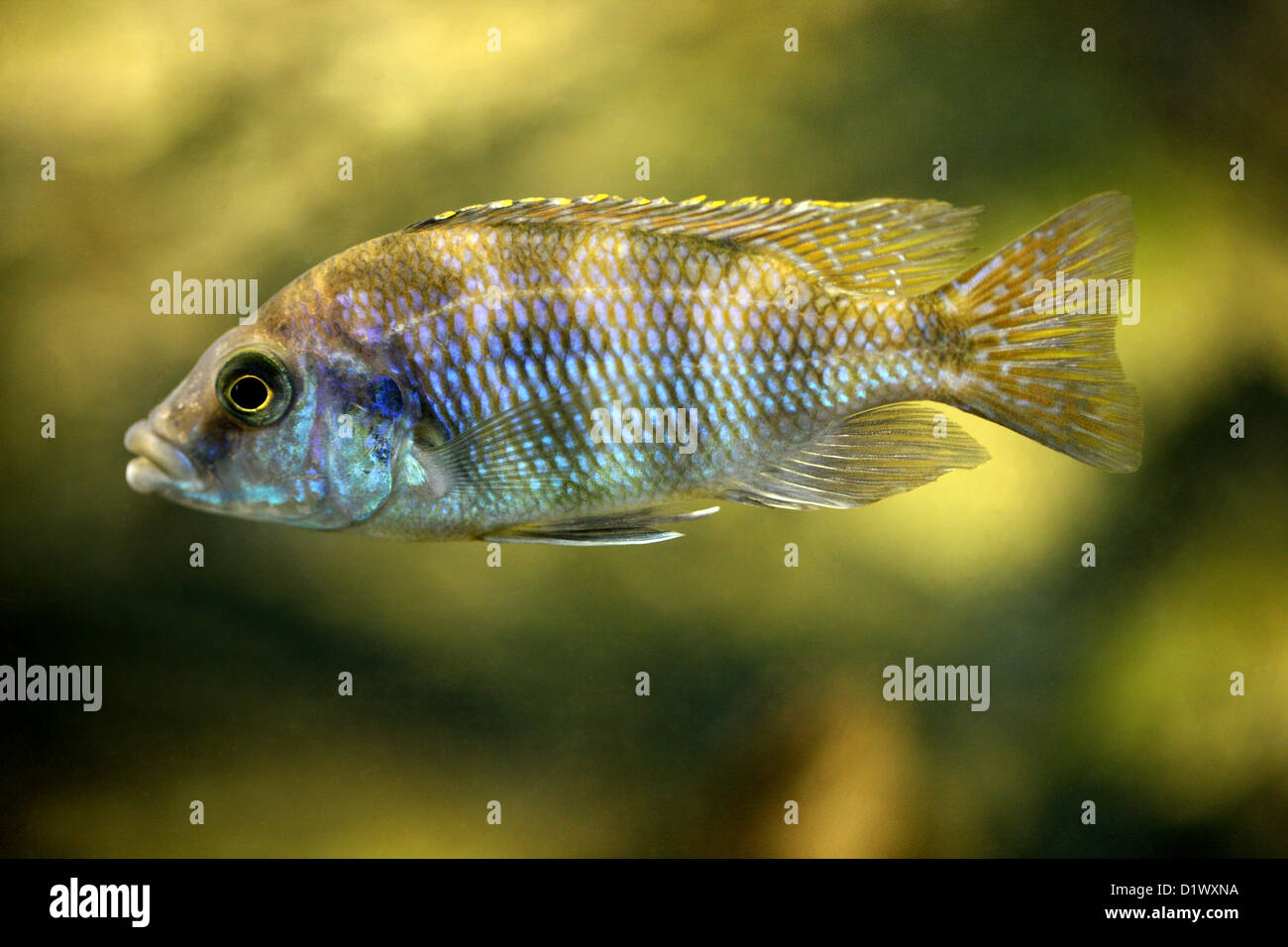 African cichlid aulonocara blue gold aulonocara for African freshwater fish