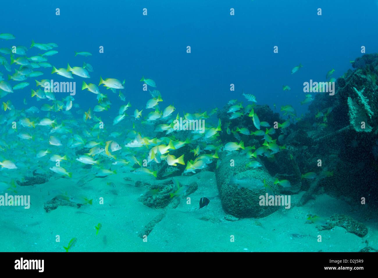 Yellowtail marine