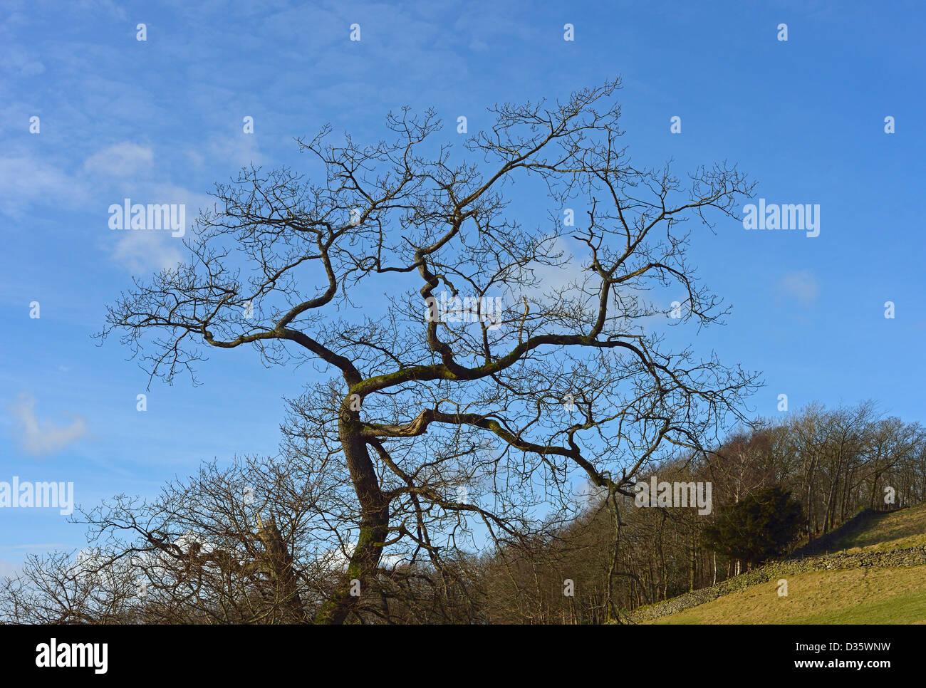 Tree in winter. Common Farm, Windermere, Lake District National Park, Cumbria, England, United Kingdom, Europe. Stock Photo