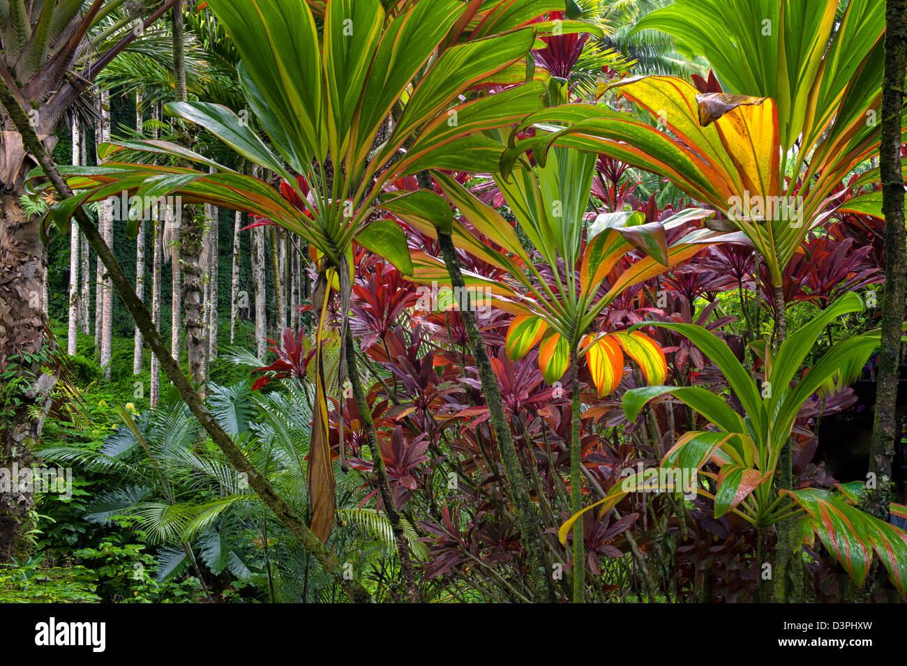 Ti Plants Hawaii Tropical Botanical Gardens Hawaii The Big Stock Photo Royalty Free Image