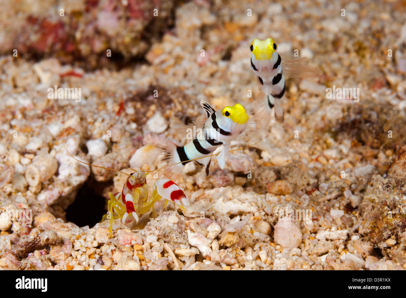 Pair Of Yellownose Shrimp Gobies, Stonogobiops Xanthorhinica, With ...