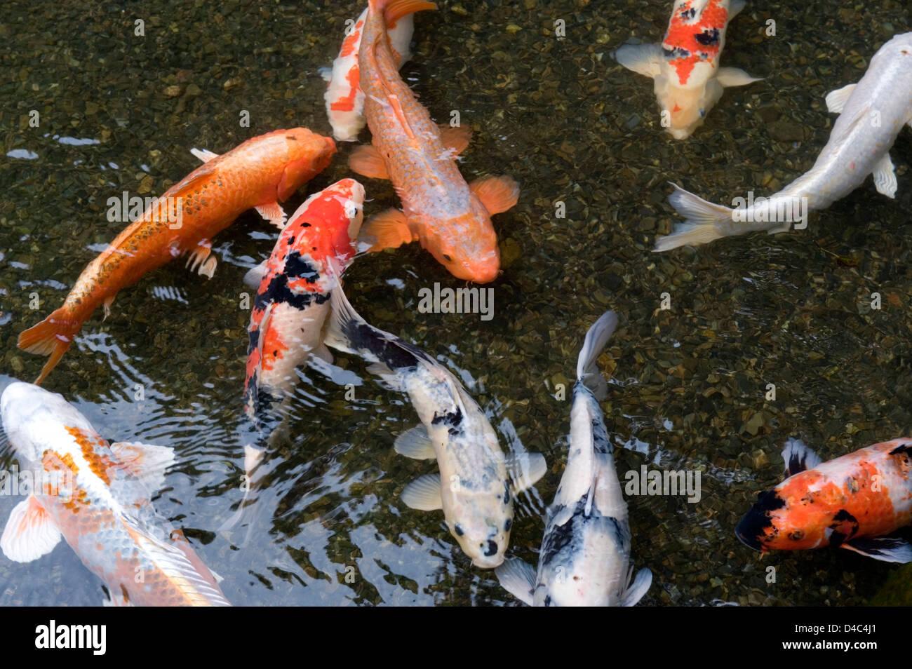 Orange white and multi colored koi carp fish swimming in for Orange koi fish