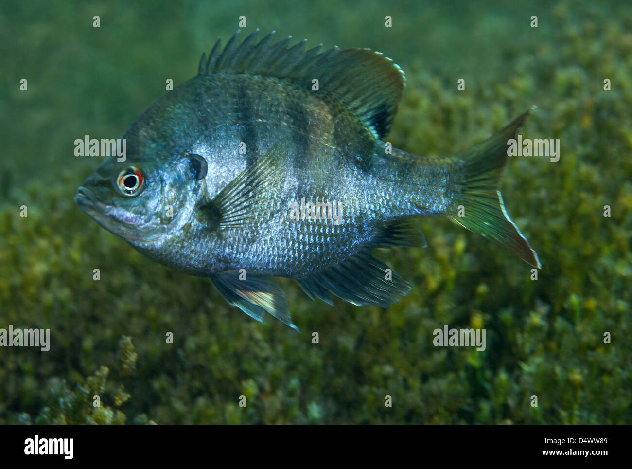 A bluegill freshwater fish in morrison springs florida for Florida freshwater fish species