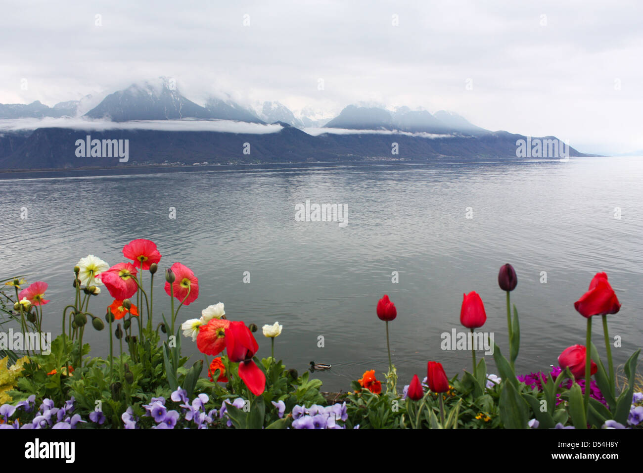 Beautiful spring flowers with mountain background in Switzerland Stock Photo