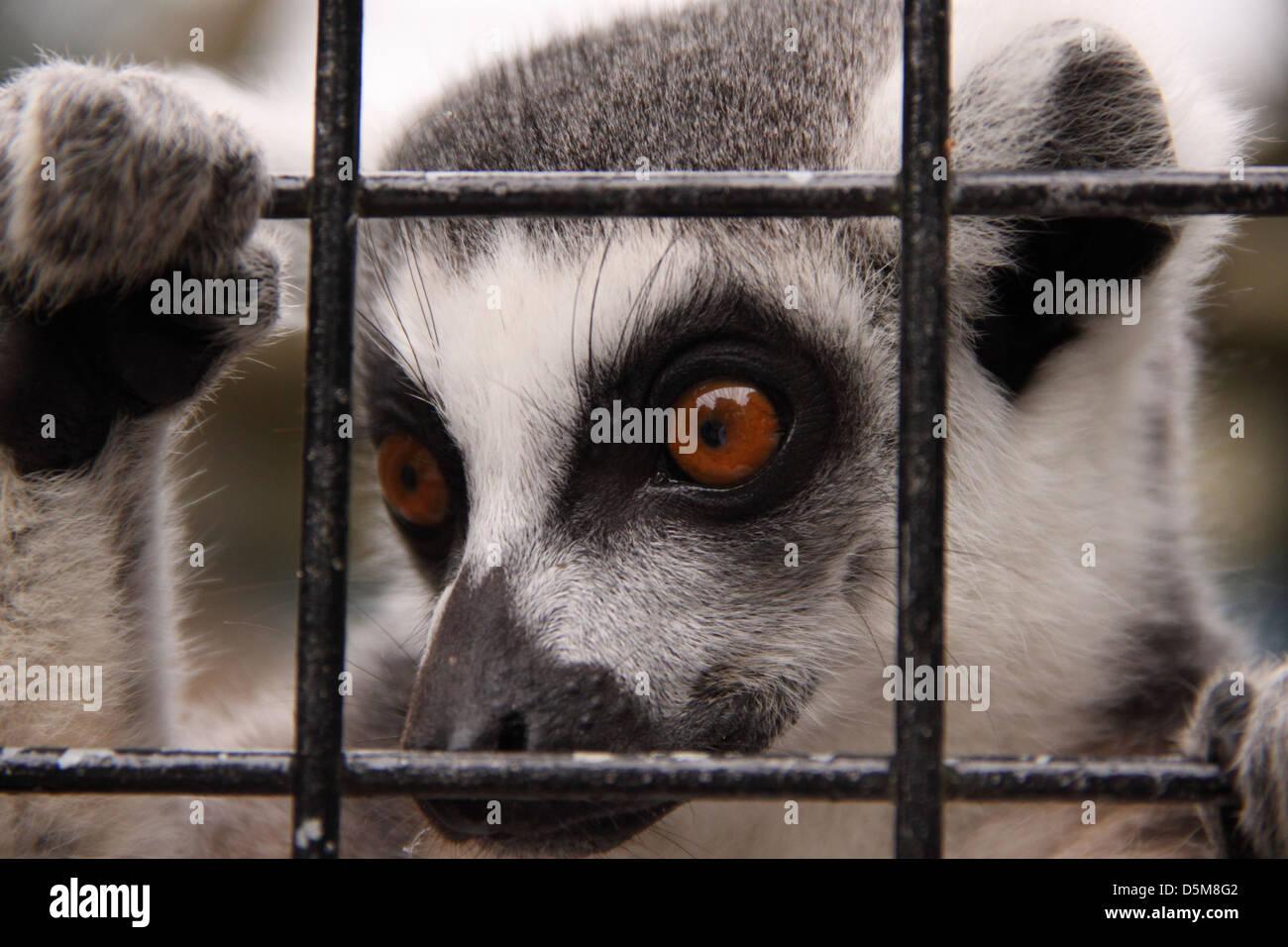 a-ring-tailed-lemur-peers-through-the-ba