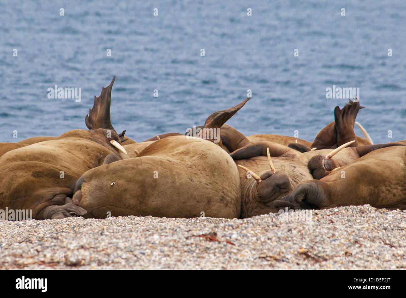 walrus-haul-out-odobenus-rosmarus-toreli