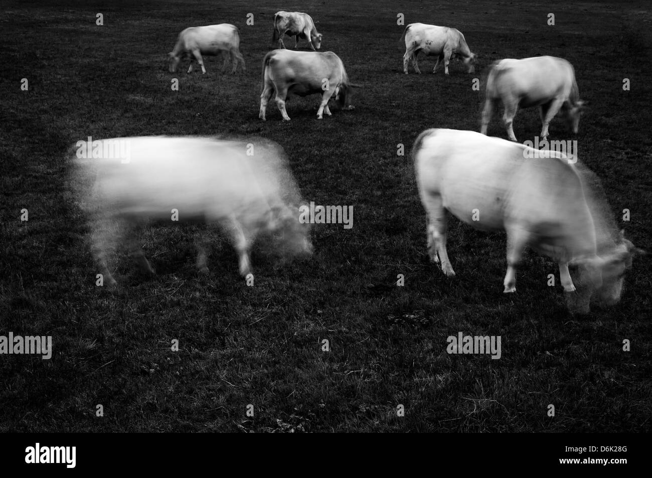 Cows grazing Stock Foto