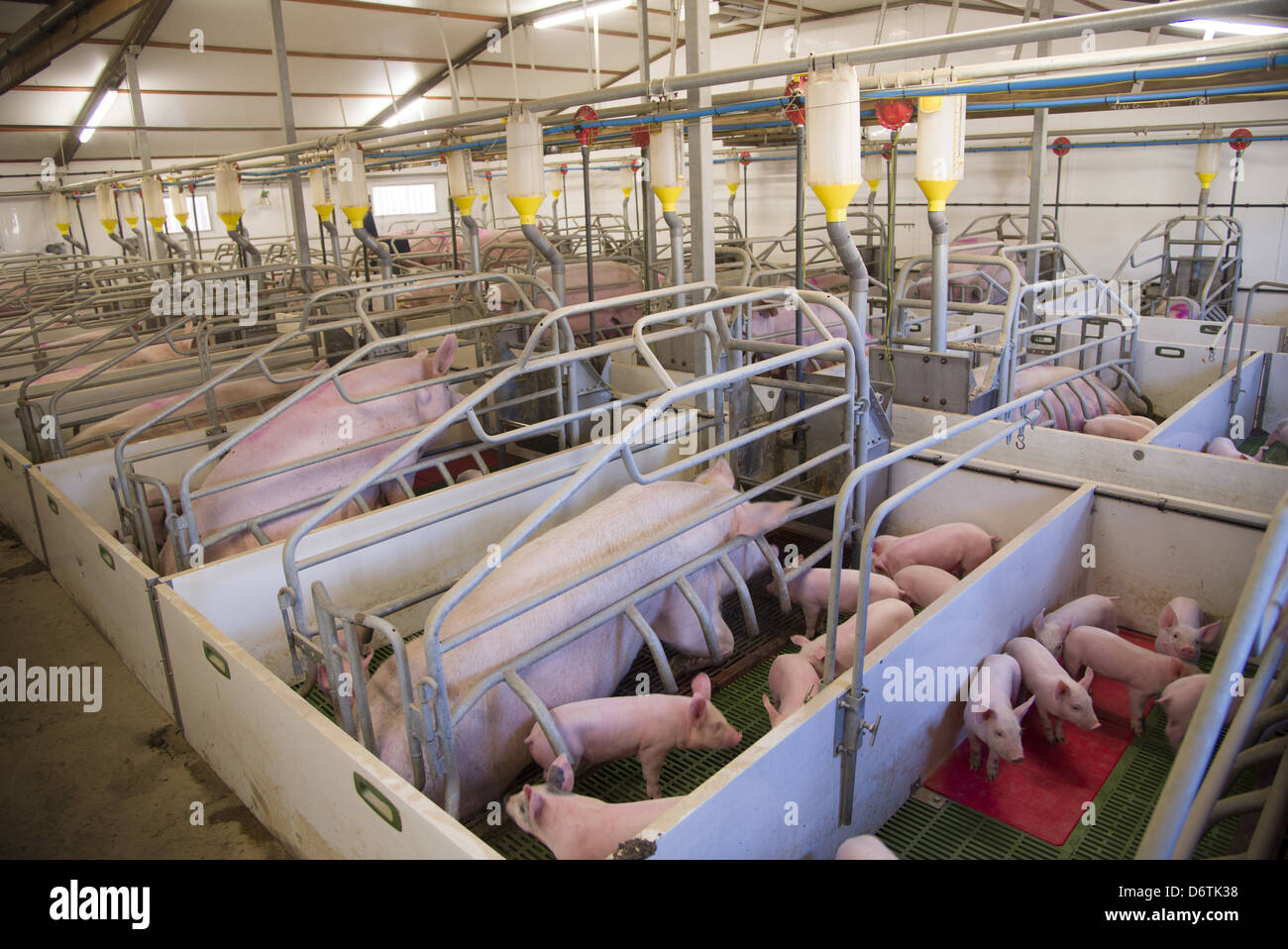 Building Farrowing Pens For  Pigs