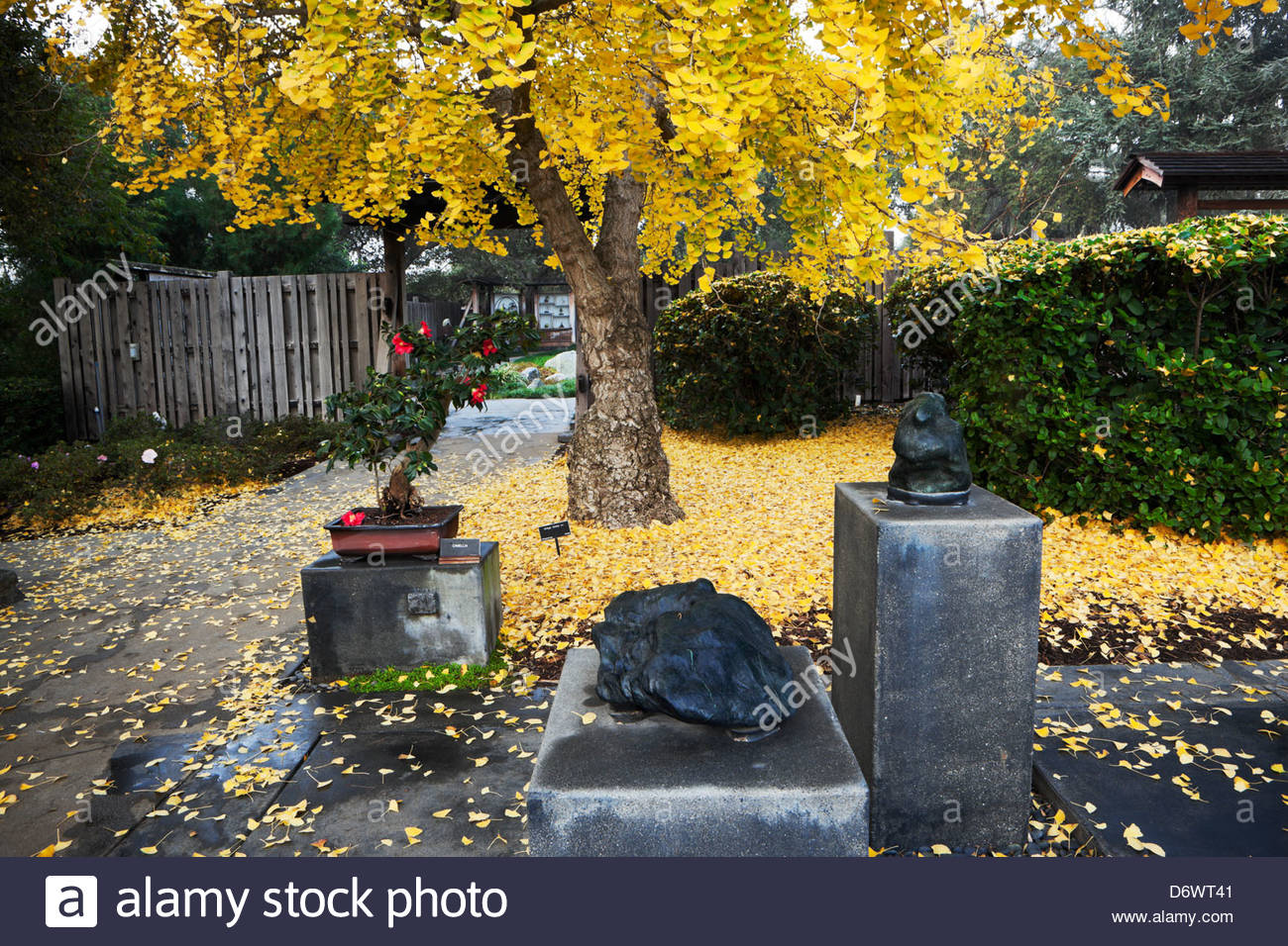 ginkgo biloba tree fall color in japanese garden at the. Black Bedroom Furniture Sets. Home Design Ideas