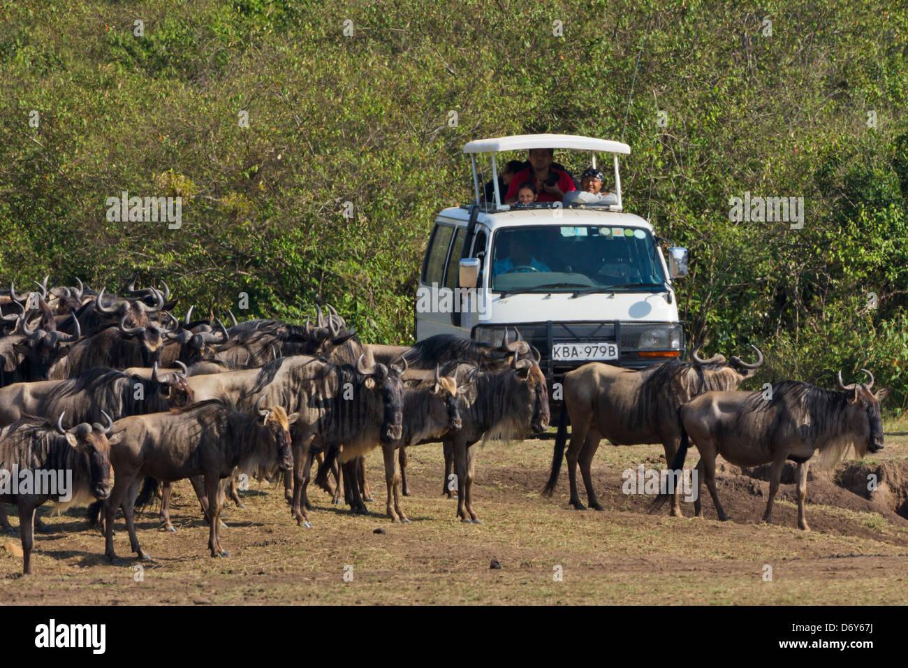 Jeep White Plains >> Safari jeep watching wildebeest migration, Masai Mara, Kenya Stock Photo, Royalty Free Image ...
