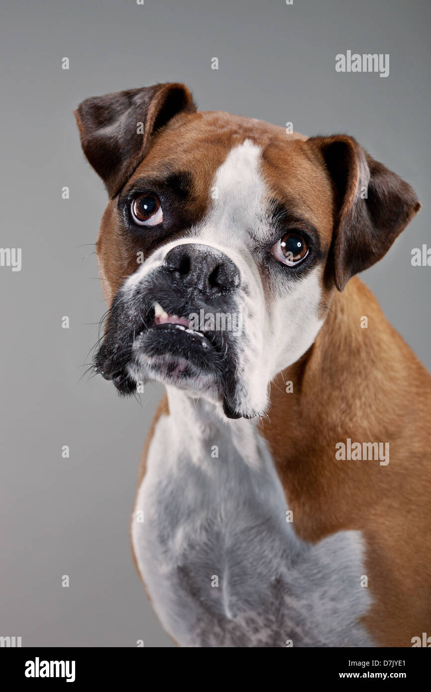 Portrait of brown and white boxer dog facing to camera in ...